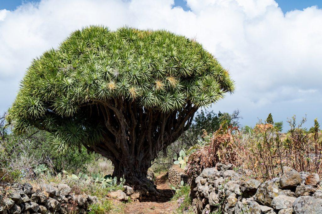 Драцена - дерево легенда